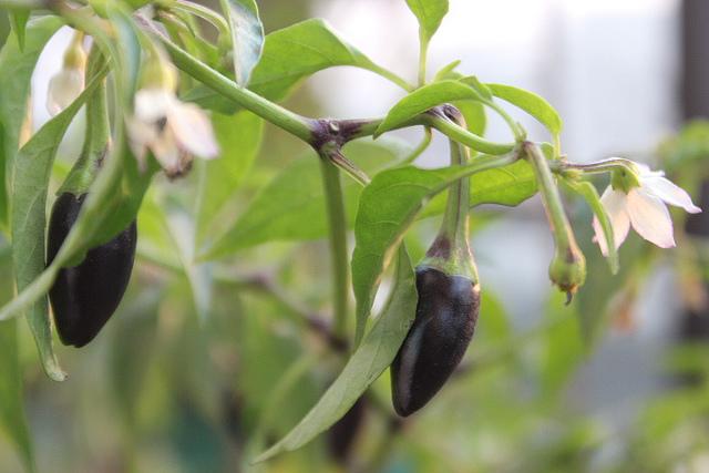 black chilli