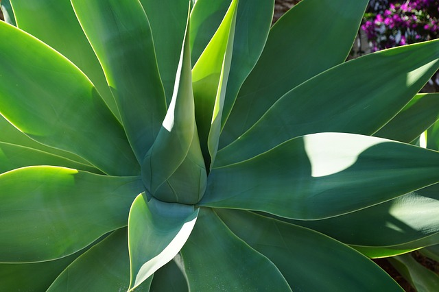 agave-syrup-for-sugar